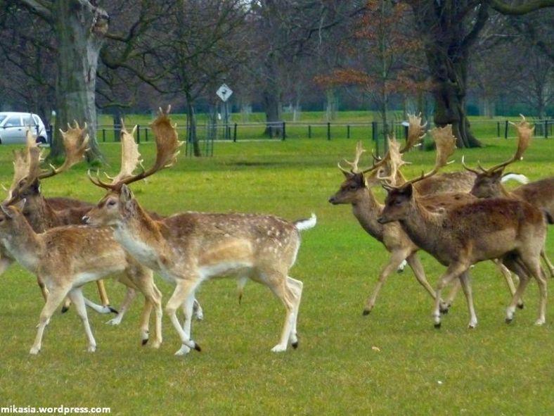 Phoenix Park deer (3)